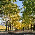 昭和記念公園~カナールのイチョウ(2)