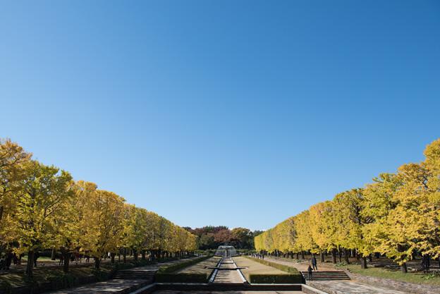 昭和記念公園~カナールのイチョウ(4)