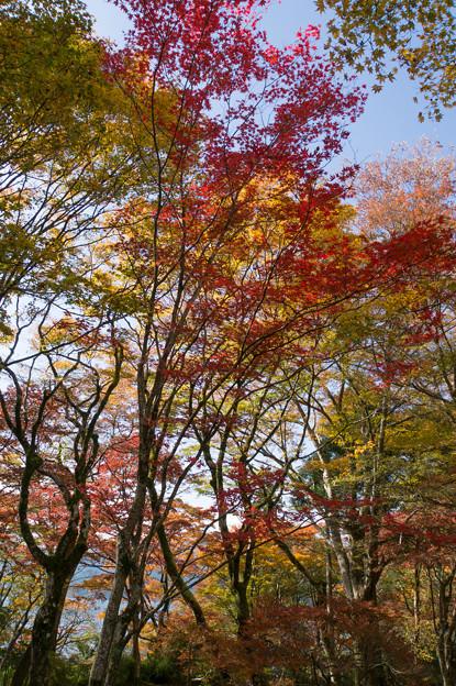 芦ノ湖の紅葉も進んでました(1)