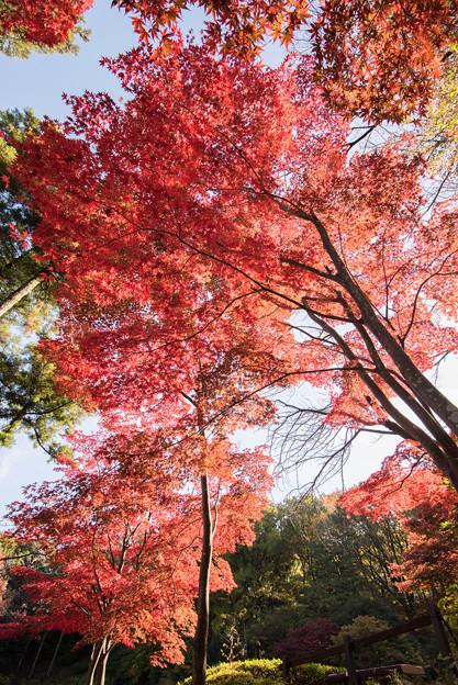 薬師池公園【モミジの真っ赤な場所】3