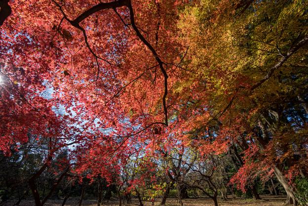 新宿御苑【モミジ山の紅葉】2_2