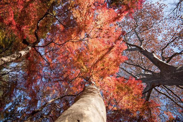 新宿御苑【モミジ山の紅葉】2_5