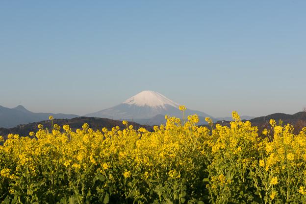 吾妻山公園【富士山と菜の花】1
