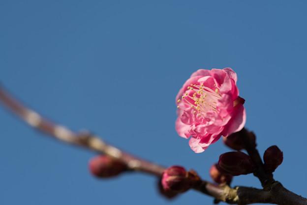 小田原フラワーガーデン【梅:八重寒紅】5