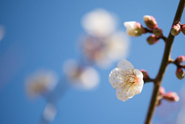 小田原フラワーガーデン【梅:古城の春】2
