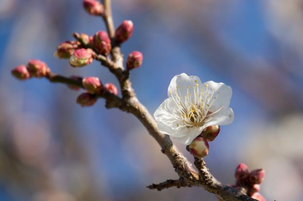 小田原フラワーガーデン【梅:古城の春】5