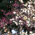 Photos: 大船植物園【梅:玉牡丹】3