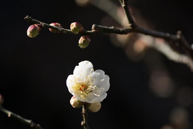 大船植物園【梅:田毎の月】