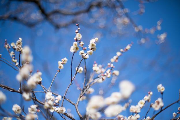 神代植物公園【梅:白難波】2