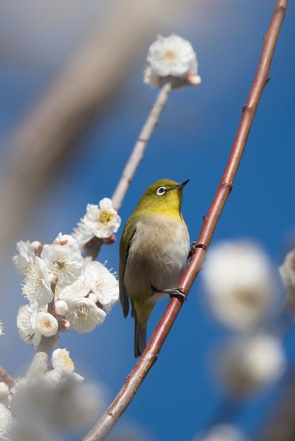 小田原フラワーガーデン【梅の花とメジロ】1