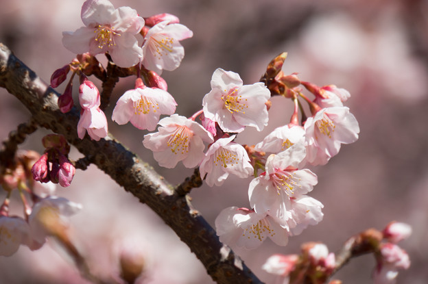 新宿御苑【寒桜】5