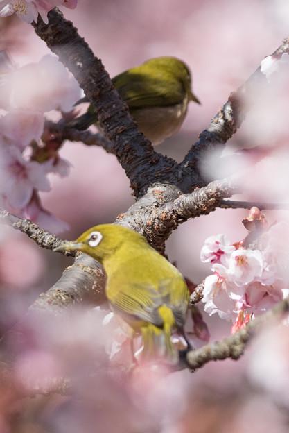 新宿御苑【寒桜とメジロ】7