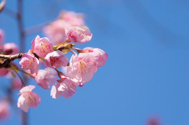 皇居東御苑【琉球寒緋桜】2