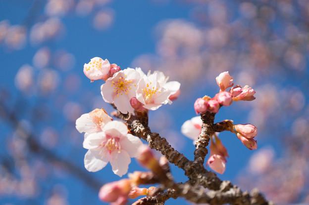 皇居東御苑【寒桜】4