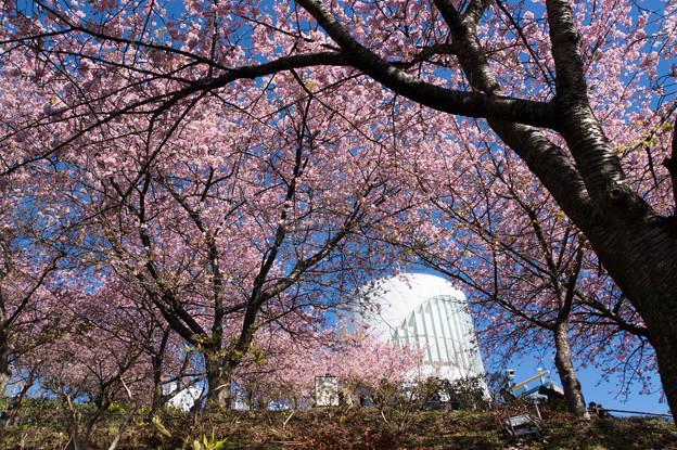 松田山【河津桜とハーブ館】