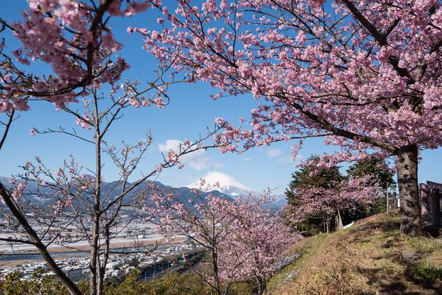 松田山【河津桜と富士山】2