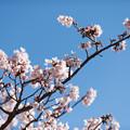大船植物園【入口そばの玉縄桜】3