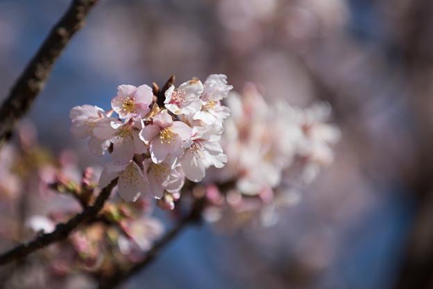 大船植物園【入口そばの玉縄桜】4