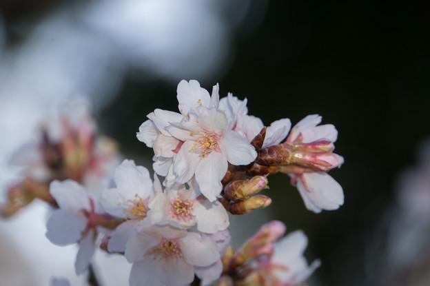 大船植物園【入口そばの玉縄桜】5
