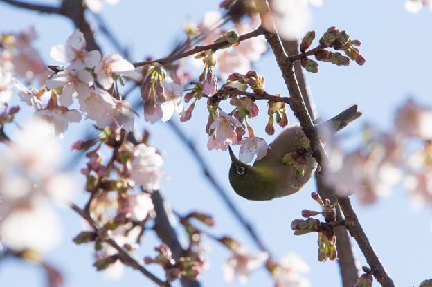大船植物園【玉縄桜とメジロ】