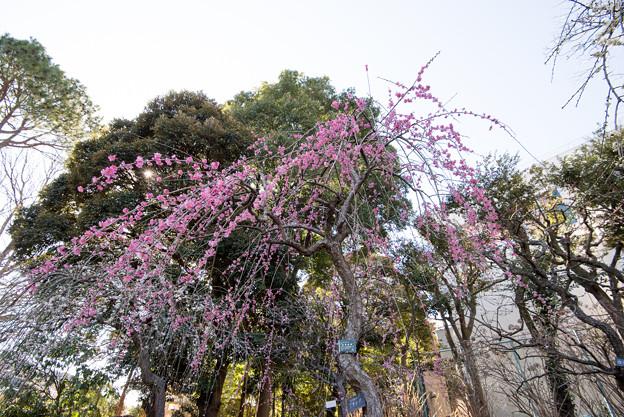 大船植物園【梅の花:玉光枝垂】