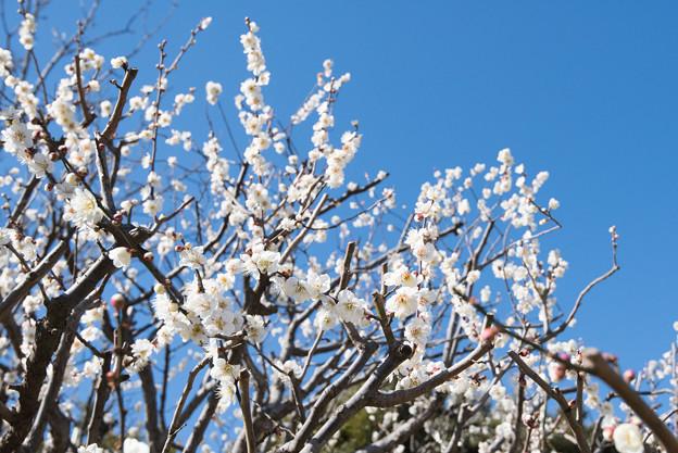 大船植物園【梅の花:鶯の谷】