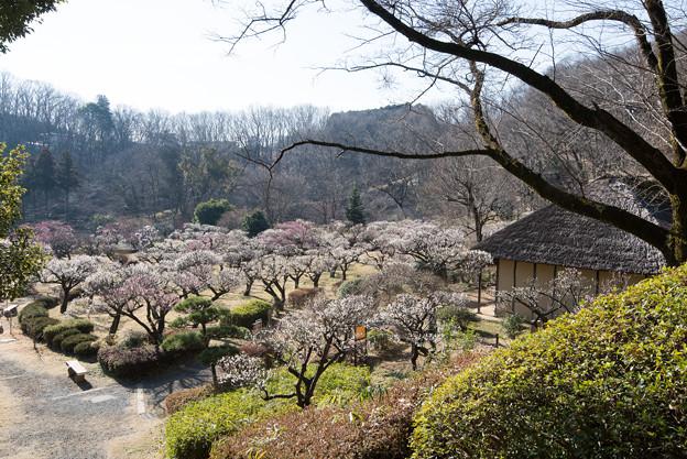 薬師池公園【旧永井家近辺の梅林】2