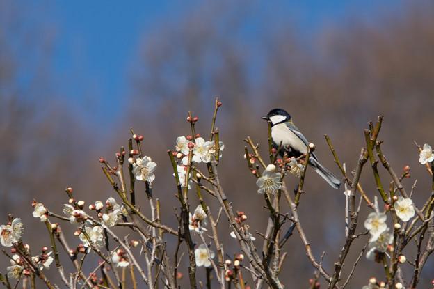 薬師池公園【薬師池の鳥:シジュウカラ】1