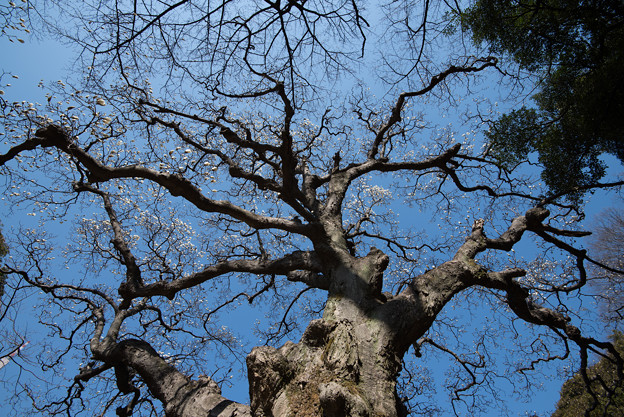 新宿御苑【音羽亭付近のハクモクレンの巨木】2