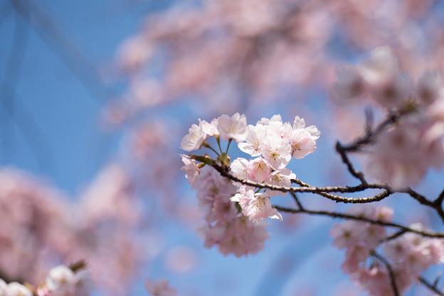 新宿御苑【大寒桜】2