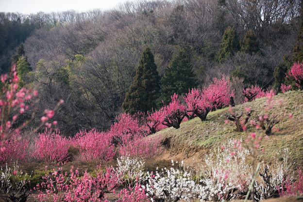 【花桃の丘の眺め】3