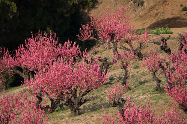 【花桃の丘の眺め】5