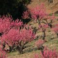 Photos: 【花桃の丘の眺め】5
