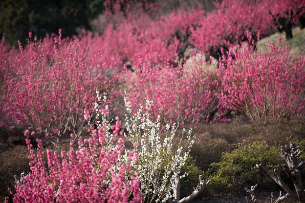 【花桃の丘の眺め】6