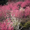 Photos: 【花桃の丘の眺め】6