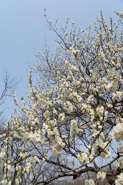 神代植物公園【ハナモモ:寒白】2