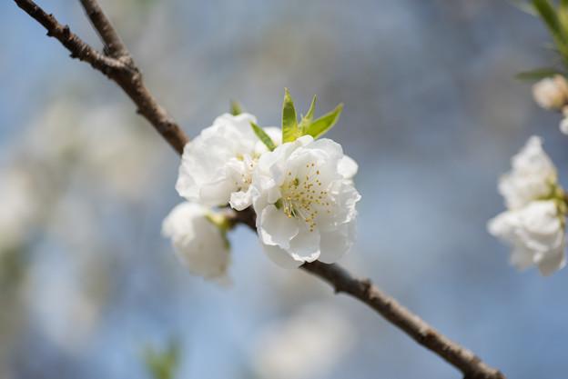 神代植物公園【ハナモモ:寒白】5