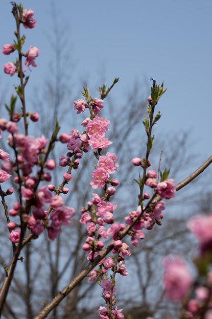 神代植物公園【ハナモモ:矢口】5