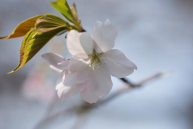 神代植物公園【桜:寒咲大島】5