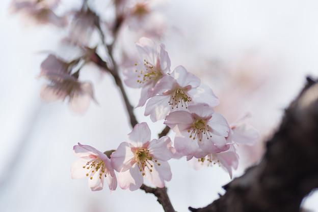 神代植物公園【桜:東海桜】5