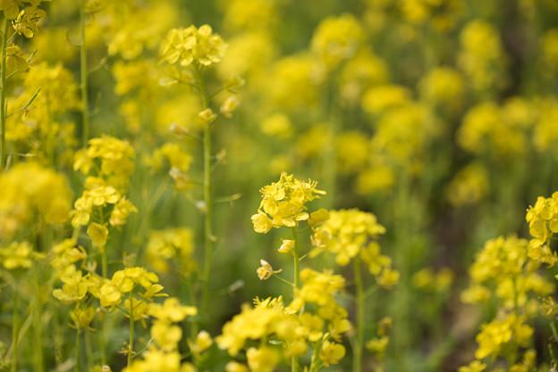神代植物公園【菜の花】3