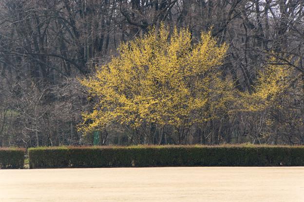 神代植物公園【サンシュユ】1