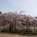 新宿御苑【桜:枝垂れ桜】1