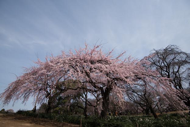 新宿御苑【桜:枝垂れ桜】2