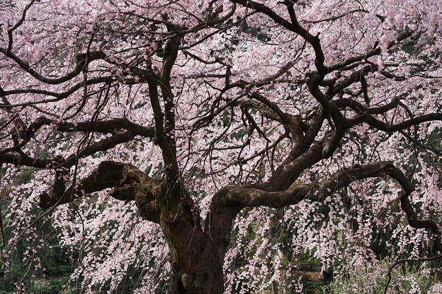 新宿御苑【桜:枝垂れ桜】6