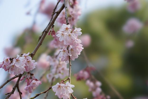 新宿御苑【桜:枝垂れ桜】8