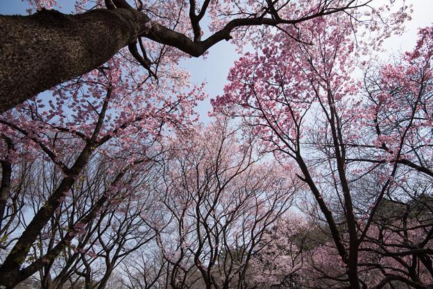 新宿御苑【桜林】1