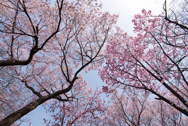新宿御苑【桜林】3