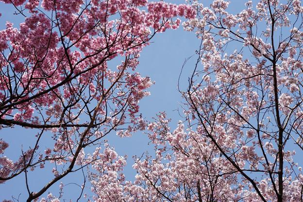 新宿御苑【桜林】5