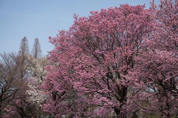 新宿御苑【桜:陽光】2